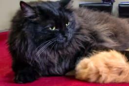 Too Cute! - Kitten Puffs: Pint-Sized