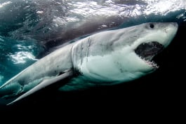 Shark Week - Lair of The Mega Shark
