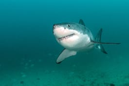 Shark Week - Air Jaws: Walking With Great Whites