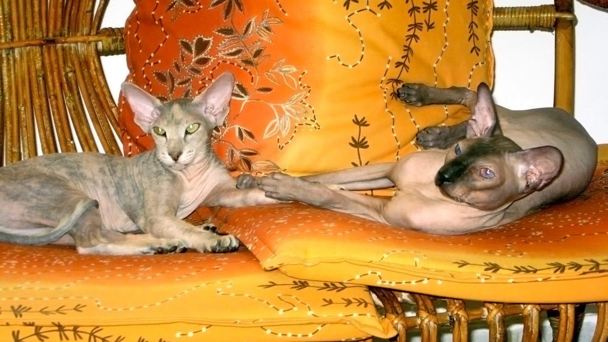 Aegean, Skookum, Li Hua, Peterbald, Chantilly, Cats who have nine lives | Cats 101