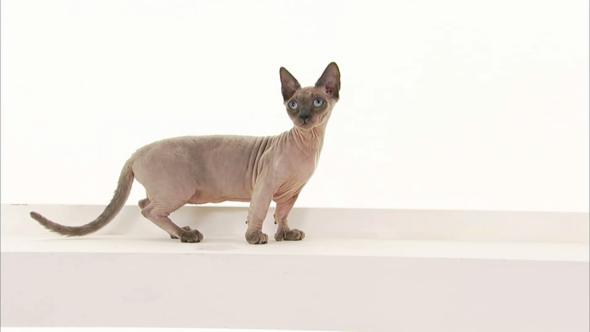 Oriental Bicolor, Donskoy, Minskin, Javanese, Sokoke, and Cats of the Web | Cats 101