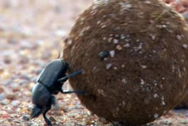 The Quick and the Curious - Dung Beetle Star Search