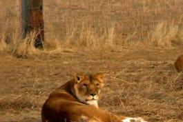 Dr. Jeff: Rocky Mountain Vet - The Lion's Den