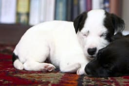 The Secret Life of Pets - Episode 4
