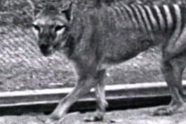 Monster Week 2016 - Extinct or Alive: The Tasmanian Tiger