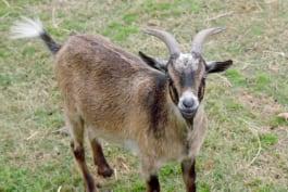 The Vet Life - No Goats, No Glory