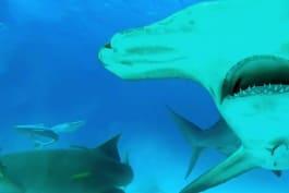 Shark Week - Sharks Among Us