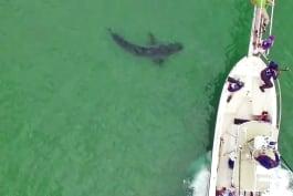 Shark Week - Shark Bait