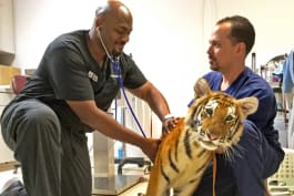 The Vet Life - Raining Cats, Dogs, and Tigers