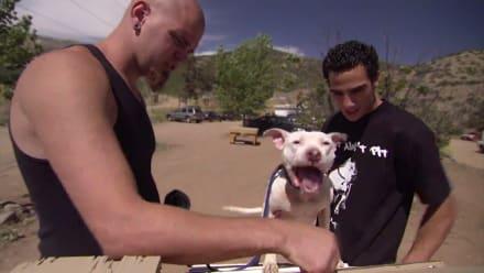 Pit Bulls & Parolees - Devastation