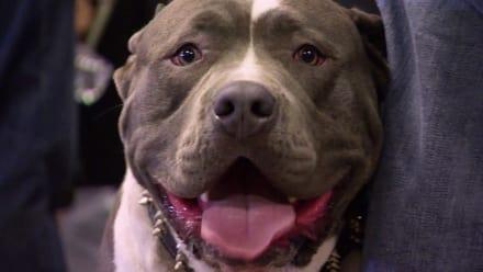 Pit Bulls & Parolees - Saving Tia Torres