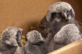 Dr. Dee: Alaska Vet - Operation Baby Owl Rescue