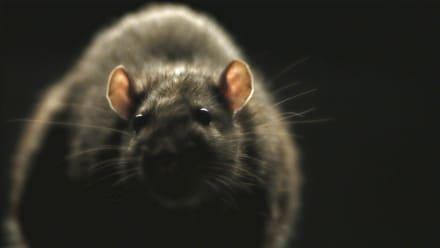 Rats - Rats