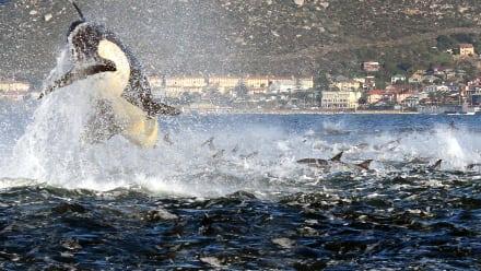 Killer Whales: The Mega Hunt - Killer Whales: The Mega Hunt