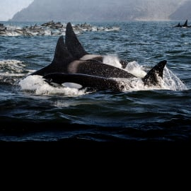 Killer Whales: The Mega Hunt