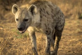 Predators Up Close - Hyenas