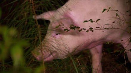 Street Outlaws: New Orleans - Pig Wrangler