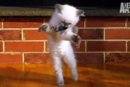 Too Cute! - Ragdoll Kittens