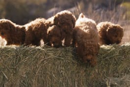 Too Cute! - To What New Heights Will These Poodle Pups Climb?