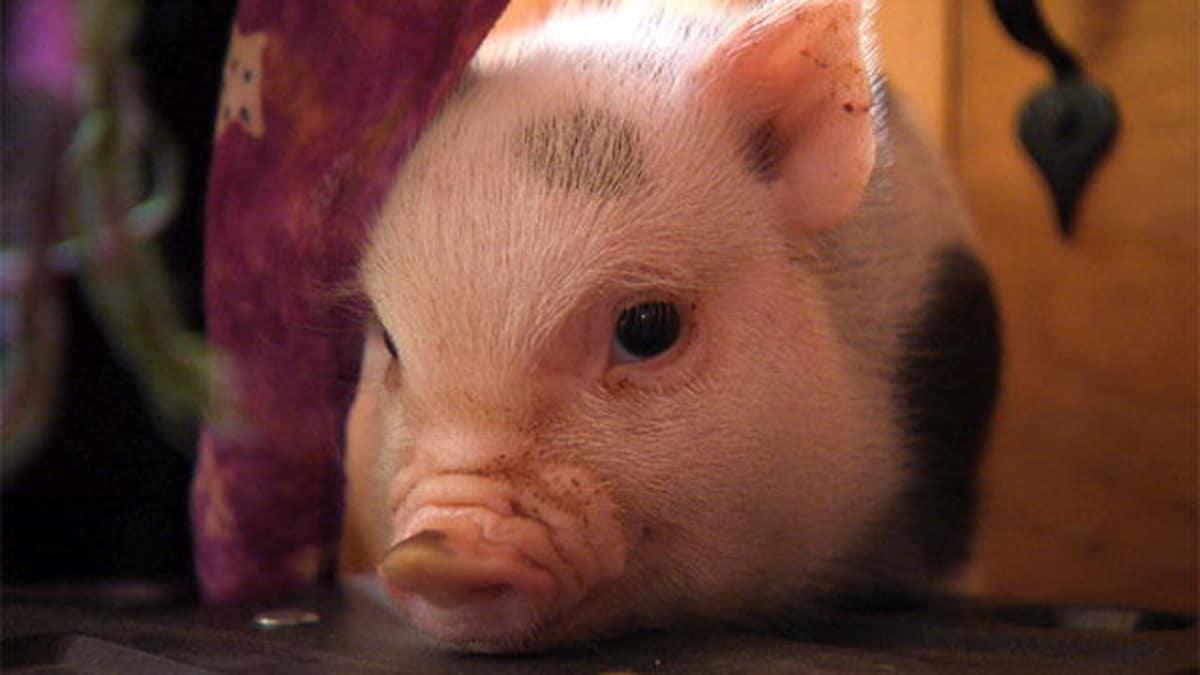 гифка жирная свинья странице необходимая информация