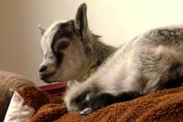 Too Cute! - Baby Goat Exhausts Puppies