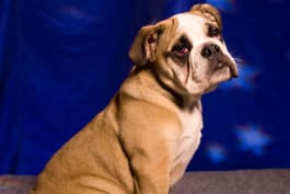 Dogs 101 - English Bulldog
