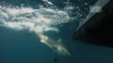 Rare Glyphis Shark Filmed - River Monsters | Animal Planet