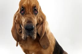 Dogs 101 - Bloodhound