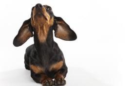 Dogs 101 - Dachshund