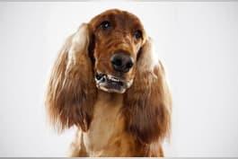 Dogs 101 - Irish Setter