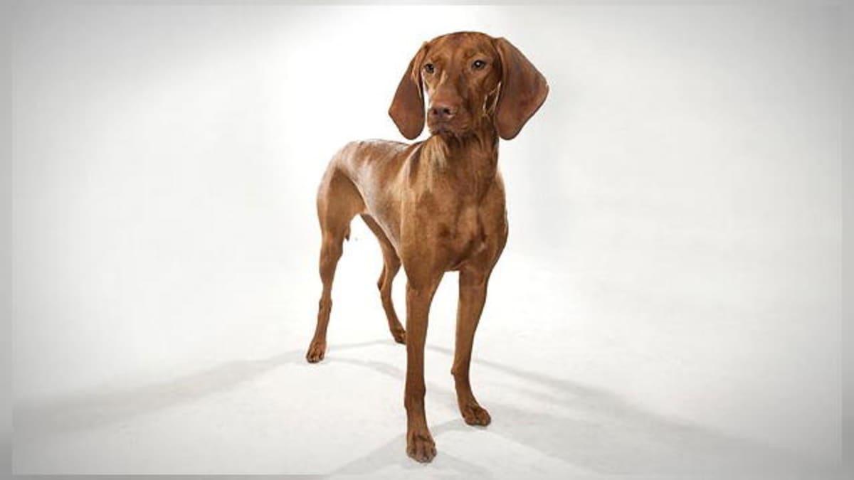 Dogs 101: Vizsla