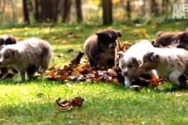 Too Cute! - Mini Australian Shepherds