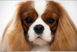 Dogs 101 - Cavalier King Charles Spaniel