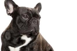 Dogs 101 - French Bulldog
