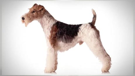 Soft Coated Wheaten Terrier Dogs 101