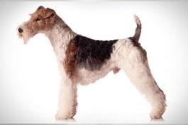 Dogs 101 - Wire Fox Terrier
