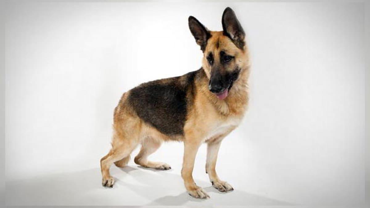 German Shepherd - Dogs 101 | Animal Planet