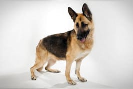 Dogs 101 - German Shepherd