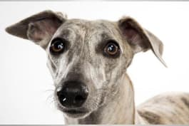 Dogs 101 - Whippet