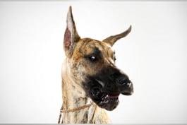 Dogs 101 - Great Dane