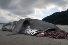 Monster Week - The Monster Shark Lives:Whale Attacked by Megalodon?