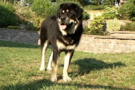 Dogs 101 - Tibetan Mastiff