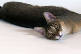Cats 101 - Chausie