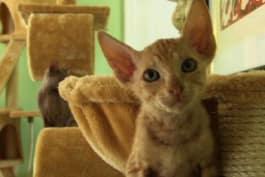 Cats 101 - Peterbald
