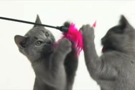 Cats 101 - European Shorthair