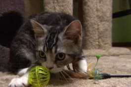 Cats 101 - American Wirehair