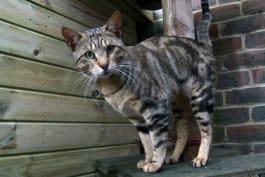 Cats 101 - Sokoke