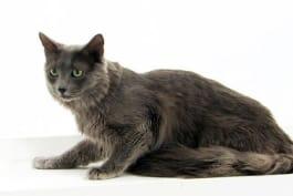 Cats 101 - Nebelung