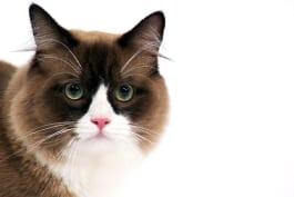 Cats 101 - Ragamuffin