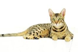 Cats 101 - Serengeti